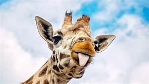 The Internet's Most Famous Pregnant Giraffe Still Hasn't ...  Giraffe
