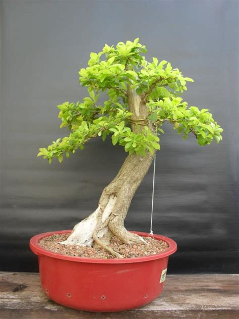 bonsaiarblogspotcom