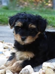 as 25 melhores ideias de yorkie poo puppies no pinterest