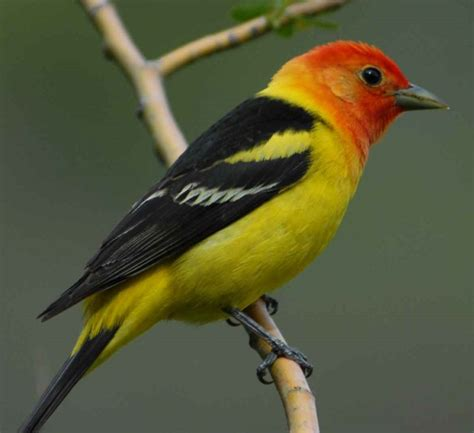 western tanager she flew birding tours