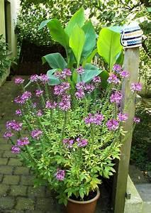 Immergrüne Kletterpflanzen Schattiger Standort : spinnenpflanze im k bel ende september halbschattiger bis ~ Michelbontemps.com Haus und Dekorationen