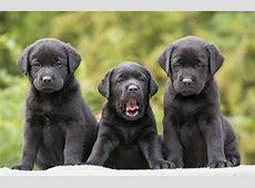 Cute Black Labrador Retriever's Puppies Full HD Wallpaper