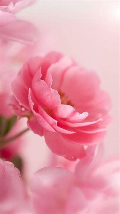 Roses Pink Rose Flowers App Backgrounds Flower