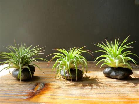 creative ideas  display  air plants