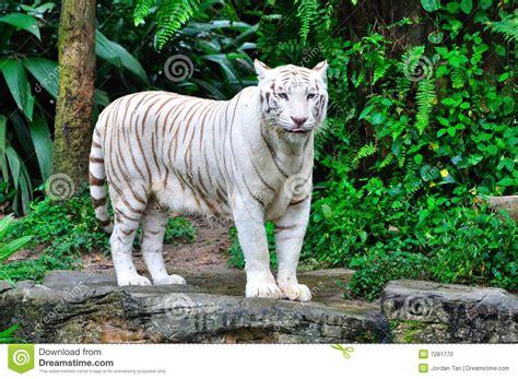 adult bengal white tiger stock photo image  white coat