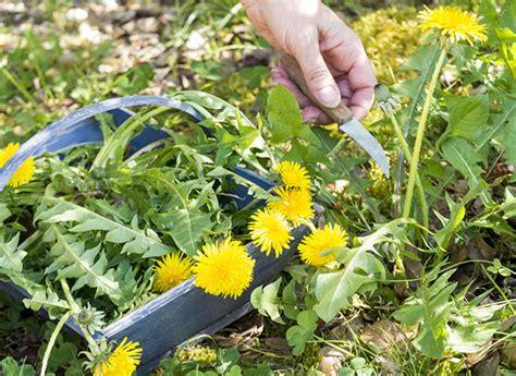 cuisiner les pissenlits cuisiner les mauvaises herbes les bienfaits du pissenlit