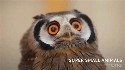 Bbc Owl Funny Eyes Gifs Animal Crazy