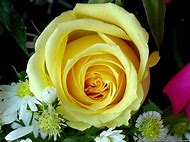 Friendship Yellow Rose Flowers