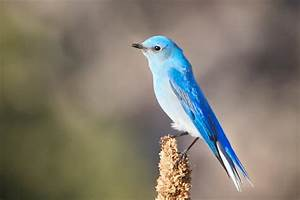 Mountain Bluebird HD photos – WeNeedFun  Bird