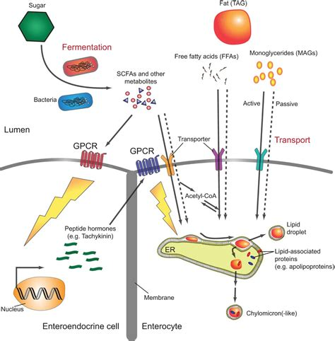 interplay  intestinal bacteria  host
