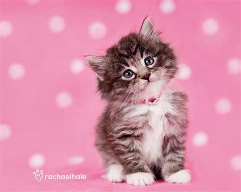 pink kitten wallpaper impremedianet