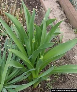 Allium Pflanzen Im Frühjahr : allium aflatunense kugellauch ~ Yasmunasinghe.com Haus und Dekorationen