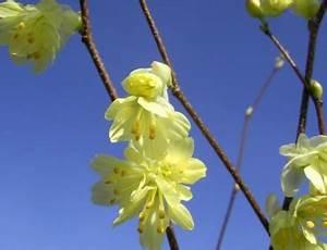 Frühblühende Sträucher Frühjahr : b ume und str ucher g nstig online kaufen seite 15 www ~ Michelbontemps.com Haus und Dekorationen