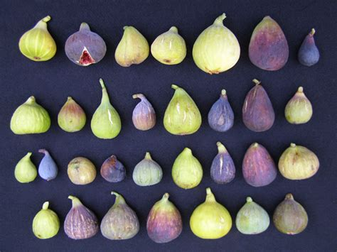 types of figs introduction to figs