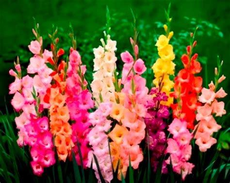 dealmonster beautiful mixed summer flowering bulbs x 100