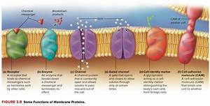 What Is The Main Role Of Proteins Within A Cell Membrane
