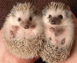African Pygmy Hedgehog | Animal Pictures and Facts ...
