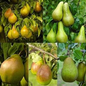 PEAR TREE - Multi-Variety Fruit Tree - PEAR - 5 varieties ...  Pear