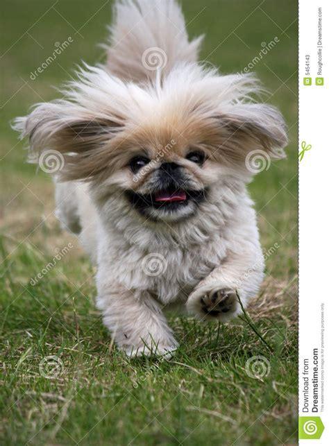 dog running pekingese stock image image   pets