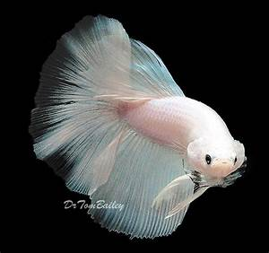 What is the difference between a white opaque betta and a ...