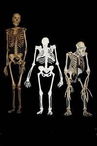 Australopithecus Sediba Hominin  New Study Reveals How
