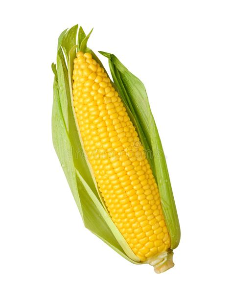 ear  corn isolated stock photo image  maize