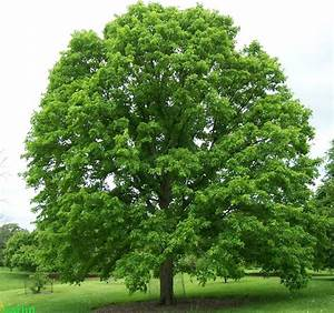 13 best images about Shade Trees on Pinterest | Trees ...