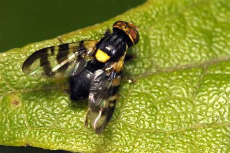 http://agroscience.com.ua/insecta/vyshneva-mukha