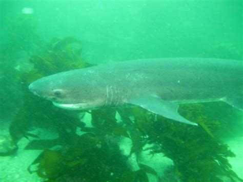 gill filaments great white shark a up look at 7 gill cow shark dive diving in simon s town and seal island