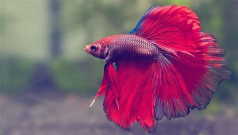 44 most beautiful betta fish in the amazing