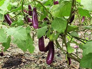 Cultivation and management practices of Brinjal in Nepal ...