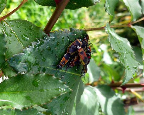 Garden Bug by The Dreaded Dindymus Versicolour A Year In A Gippsland
