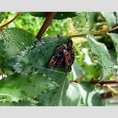 The Dreaded Dindymus Versicolour  A Year In A Gippsland