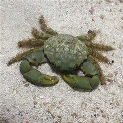 emerald mithrax crab barrier reef aquariums