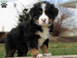 Bernese Mountain Dog Miniature Poodle Mix