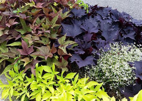 Decorative Potato Plant - ornamental sweet potatoes are low maintenance choice