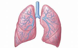 Lungs Png Transparent Images