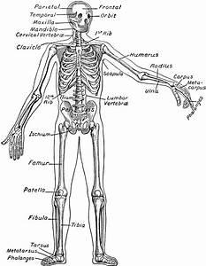 Skeletal System Clipart