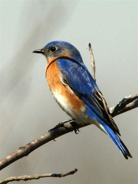 best 28 eastern bluebird cycle bird lover series