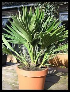 Welche Erde Für Palmen : exotic garden palmen sabal butia chamaerops winterharte yucca und mediterrane pflanzen ~ Watch28wear.com Haus und Dekorationen
