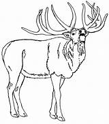 Elk Coloring Pages North America Bull Mountain American Rocky Printable Template Sketch Birds Adults Getcolorings Templates Popular sketch template