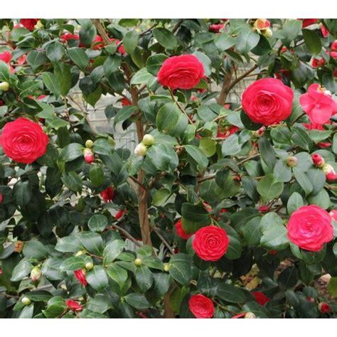 are camellias edible japanese camellia seeds camellia japonica