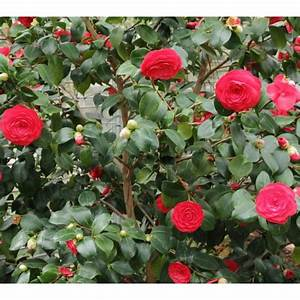 Camellia Japonica Winterhart : japanese camellia seeds camellia japonica ~ Eleganceandgraceweddings.com Haus und Dekorationen