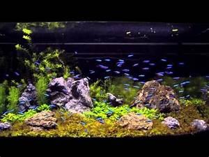 Neon Tetras Feeding on Repashy
