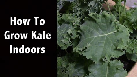 How To Grow Kale Indoors  Also My Favorite Led Grow Light