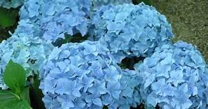Blau De Meine Rechnung : hortensien bl ten blau f rben mein sch ner garten ~ Themetempest.com Abrechnung