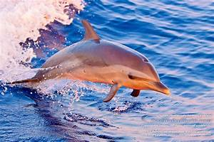 Baby Dolphins Jumping Out Of The Water At Sunset