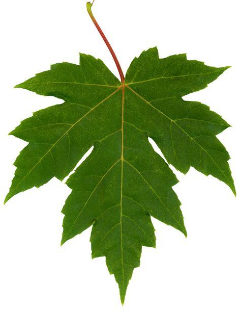 maple tree leaf google images