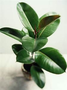 Indoor Plant Care - Rubber Tree