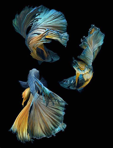 siamese fighting fish hypnotizing portraits of siamese fighting fish by visarute angkatavanich